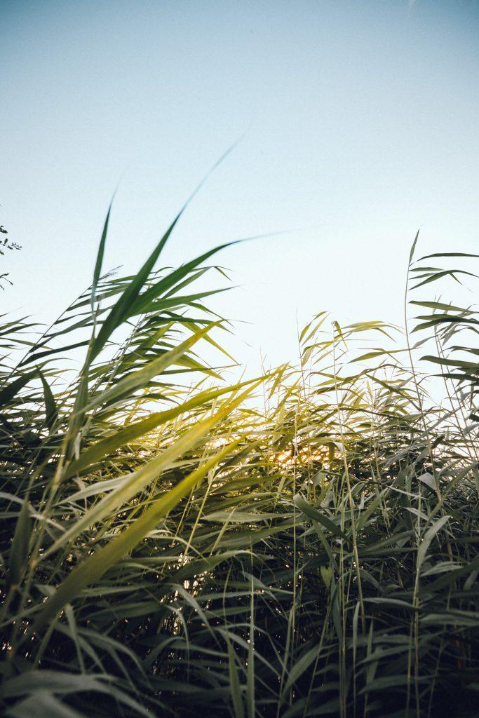 Riet en hoge grassen tijdens vakantieshoot op camping de Schaapskooi in Hellendoorn met golden hour familieshoot outdoor